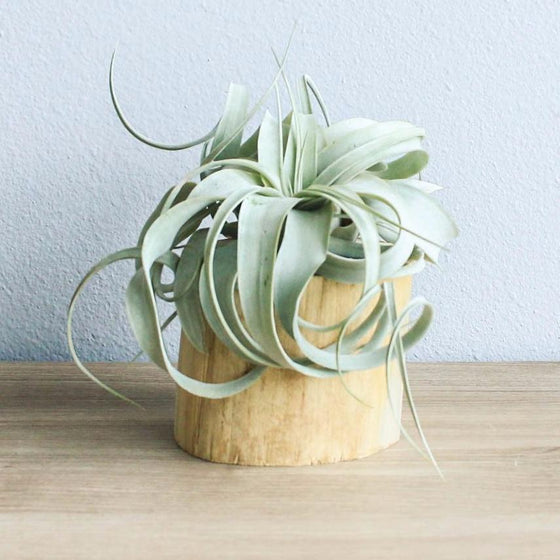 Wholesale - Modern Driftwood Container with Xerographica Mini Air Plant
