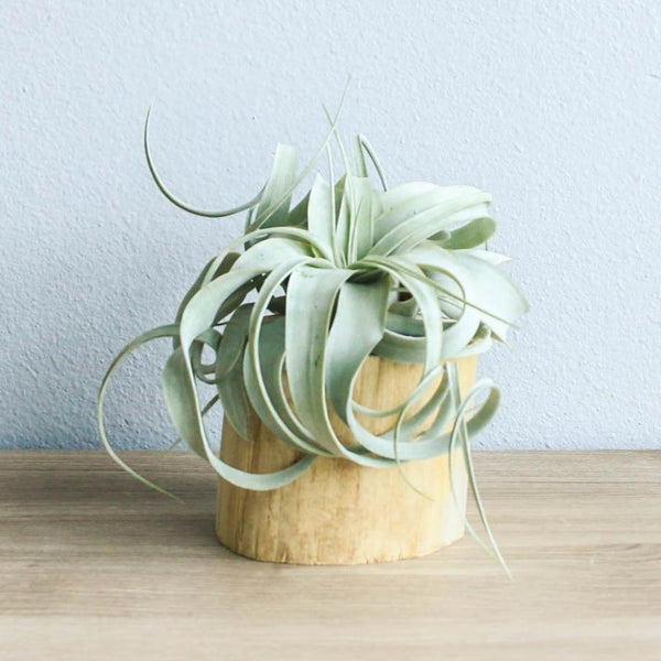 Modern Driftwood Container - Choose Your Custom Tillandsia Air Plant