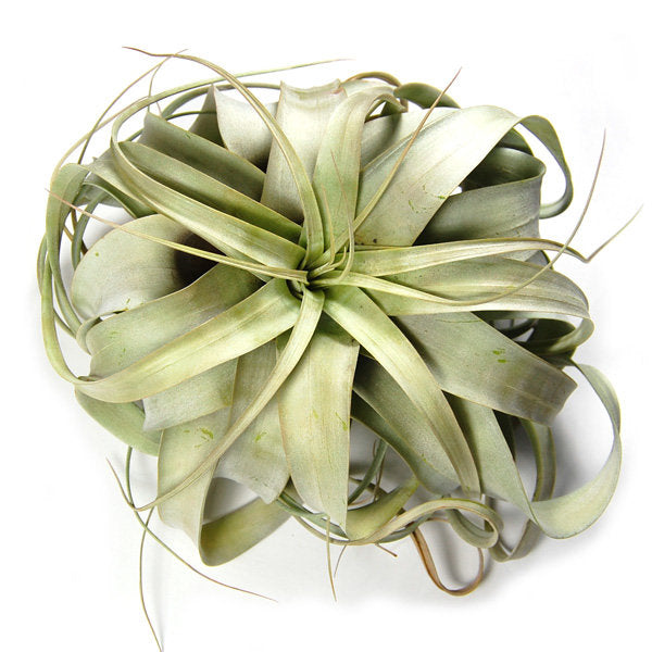 SALE - Medium Xerographica - 5 to 6 Inches Wide - Set of 5 or 10 Specialty Air Plants - 50% Off + Free Shipping