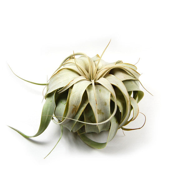 Wholesale - Small Tillandsia Xerographica / 4-5 Inch Plants