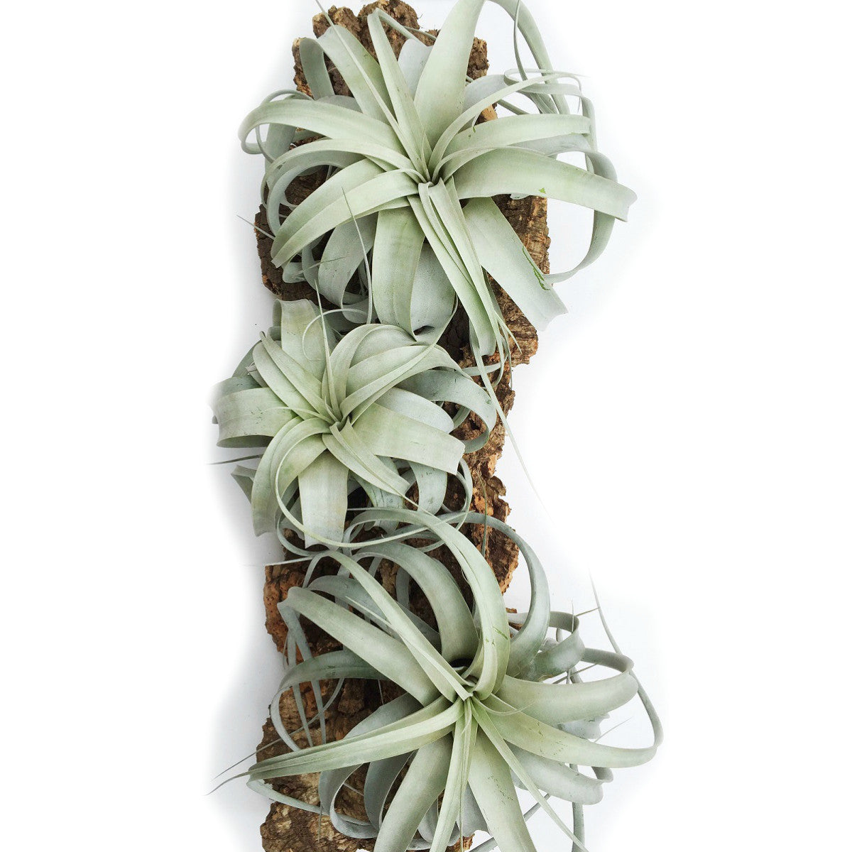 """Xerographica Thick Leaf Mini 4/"""" CUTE *FREE SHIPPING*"""