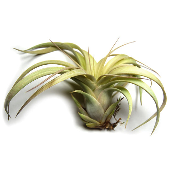 TLC - Tillandsia Xerographica in Need of Love