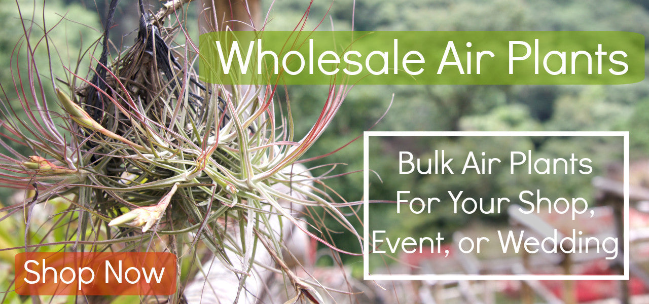 Wholesale Air Plants: Bulk Air Plants for Your Shop, Event, Wedding, or Event