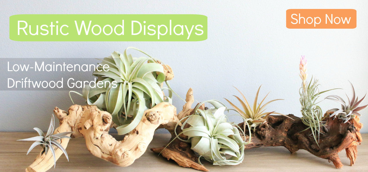 Natural Wood Displays for Tillandsia Air Plants - Create Your Own Driftwood Garden