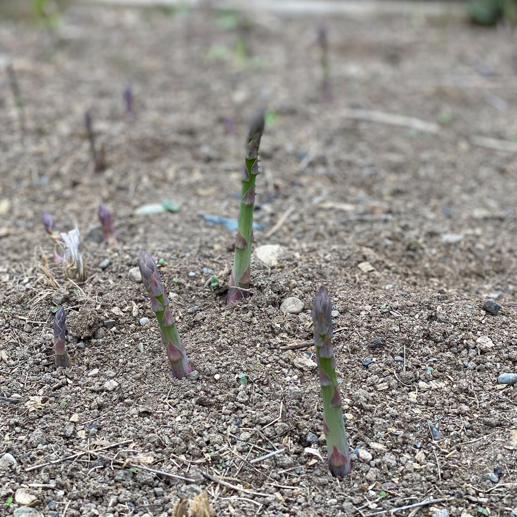 asparagus growing from the ground in the spring