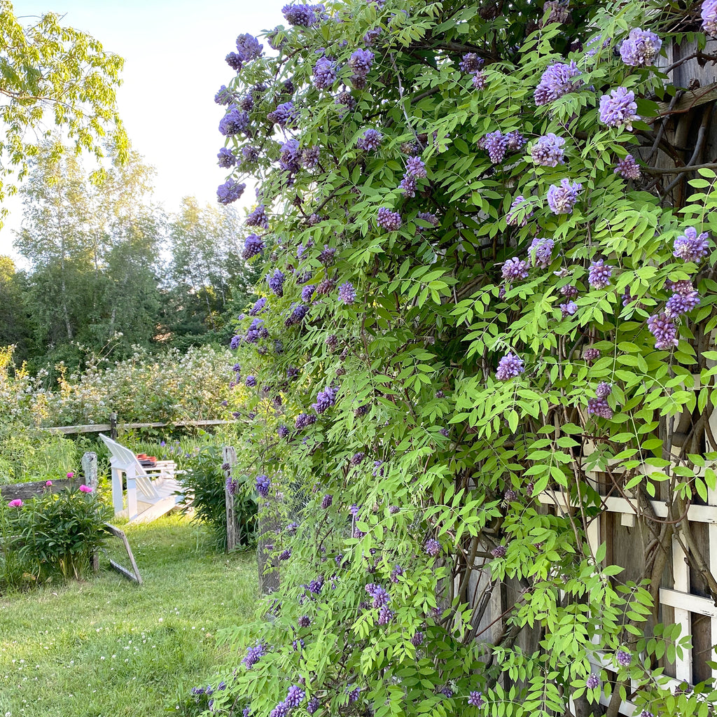 wisteria vines and a pair of Adirondack chairs in a garden in the springtime