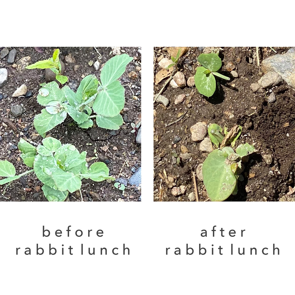 images of pea shoots in a garden before eaten by rabbits and after eaten by rabbits