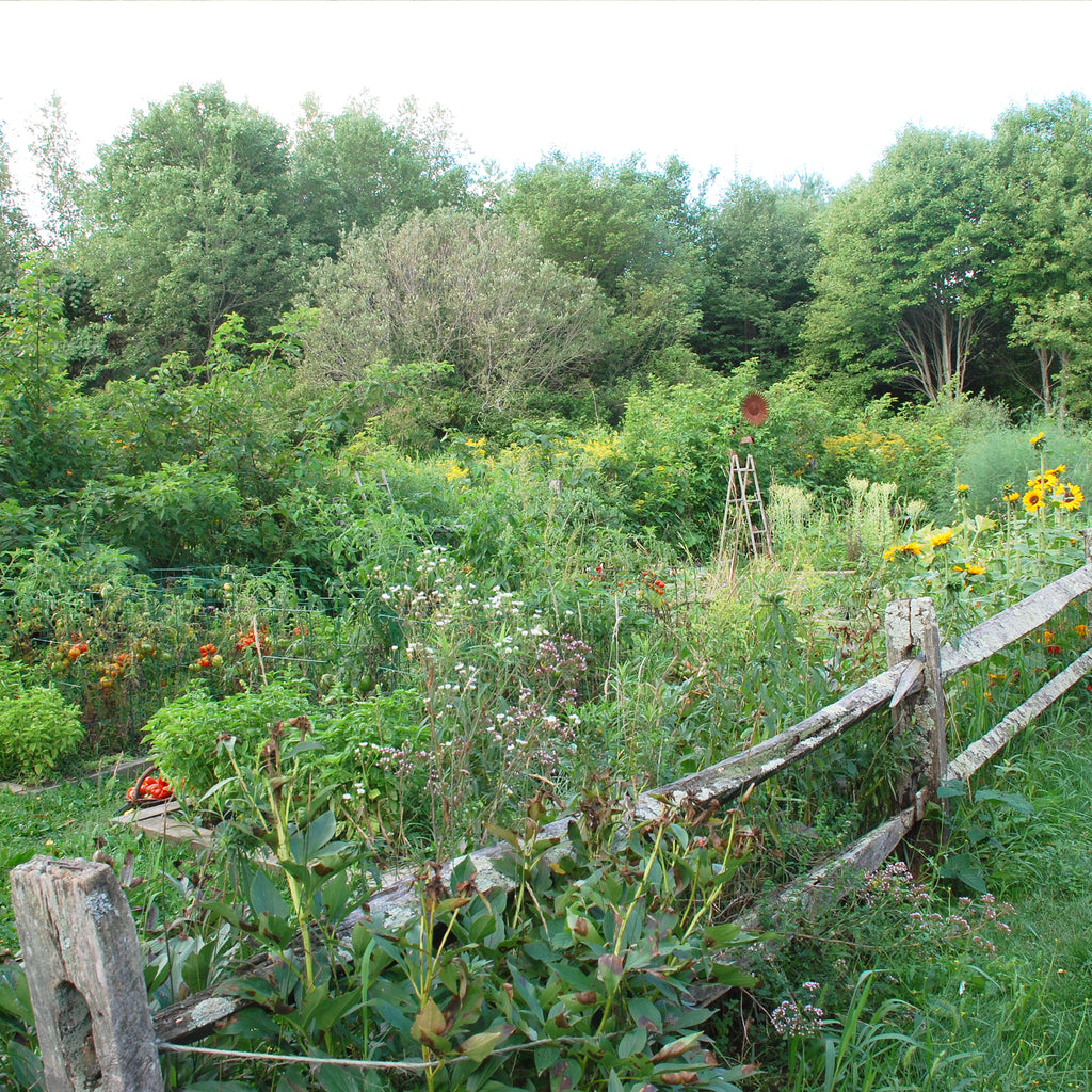 a garden with tomatoes, sunflowers, and summer squash