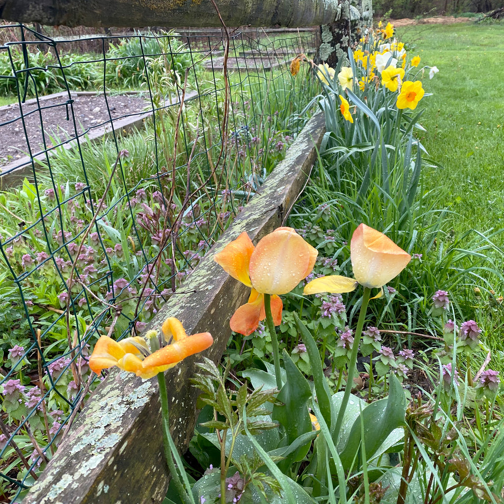 tulips and daffodils along a garden fence