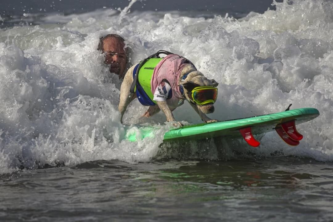 James Wall launches Faith, an American pit bull terrier, onto a wave.