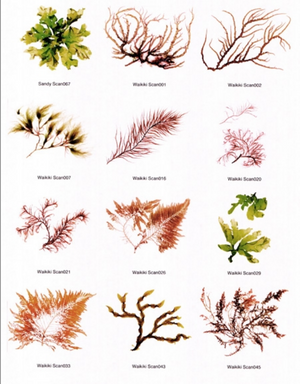 Hawaiian Seaweed Notecards Different Varieties 1