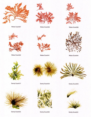 Hawaiian Seaweed Notecards Different Varieties 2