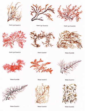 Hawaiian Seaweed Notecards Different Varieties 3