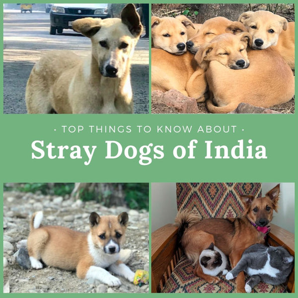 Top Things To Know About Stray Dogs Of India