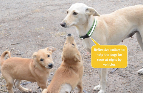 reflective collars stray dogs