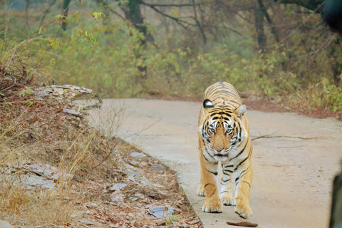 Ranthambore National Park Tiger - Dhonk