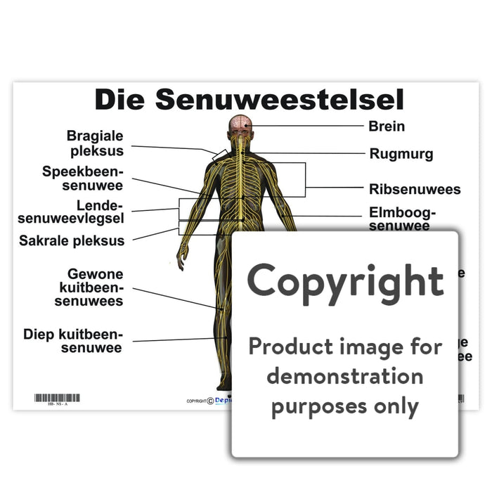 Die Senuweestelsel Wall Charts And Posters