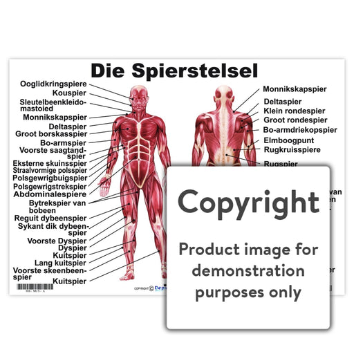 Die Spierstelsel Wall Charts And Posters