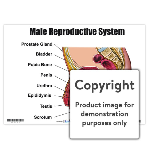 Male Reproductive System Wall Charts And Posters