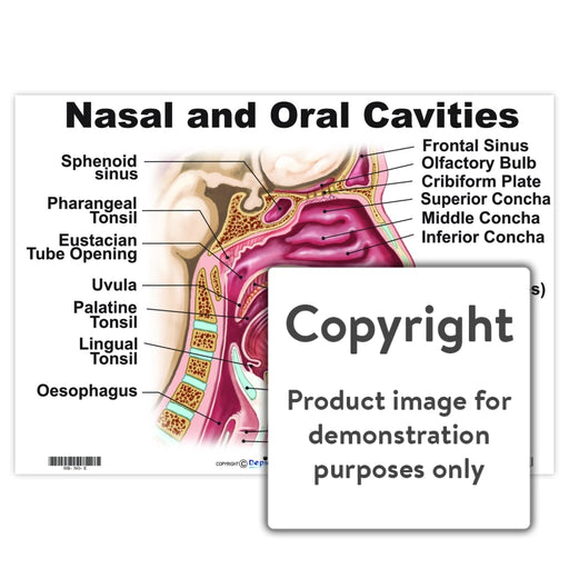 Nasal And Oral Cavities Wall Charts Posters