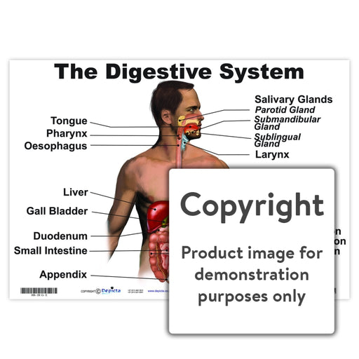 The Digestive System Wall Charts And Posters