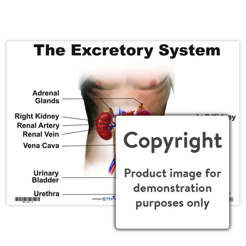 The Excretory System Wall Charts And Posters