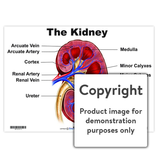 The Kidney Wall Charts And Posters