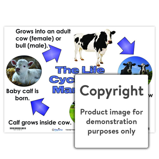 The Life Cycle Of A Mammal (Cow) Wall Charts And Posters
