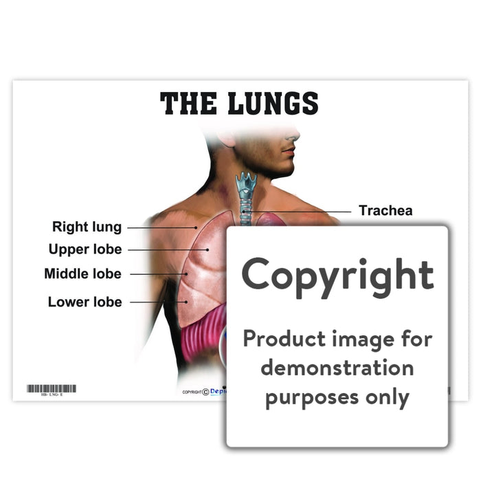 The Lungs Wall Charts And Posters