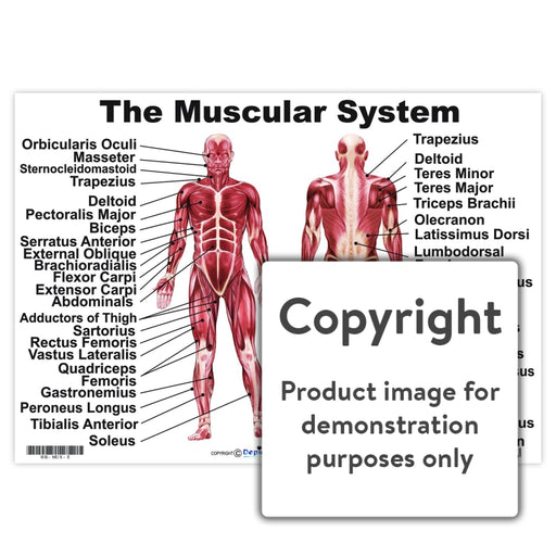 The Muscular System Wall Charts And Posters