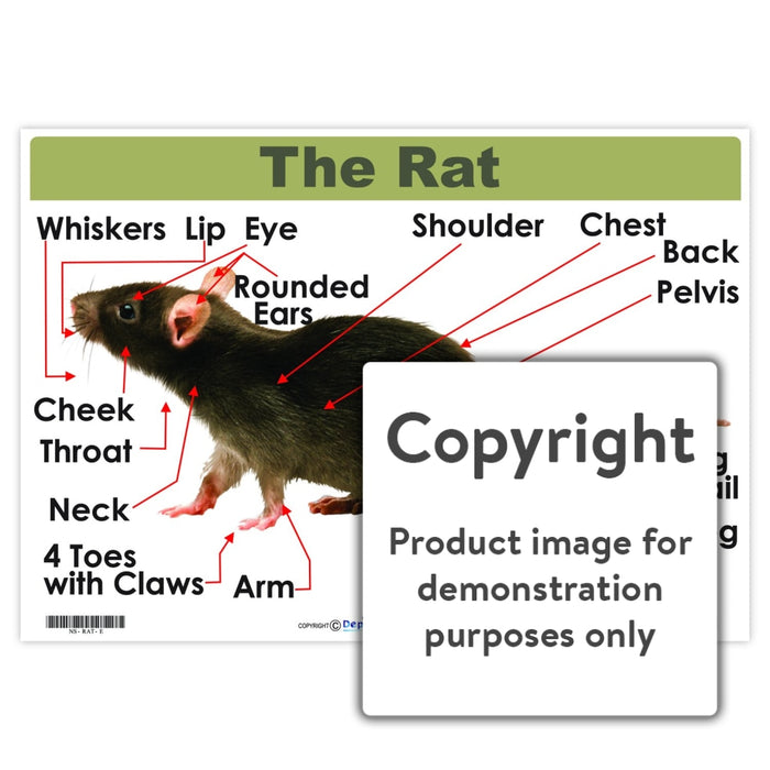 The Rat Wall Charts And Posters