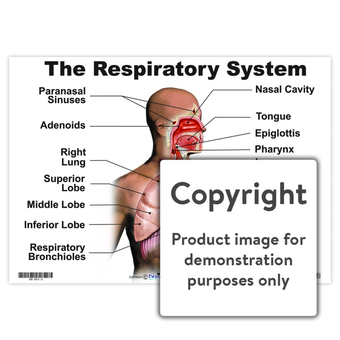 The Respiratory System Wall Charts And Posters