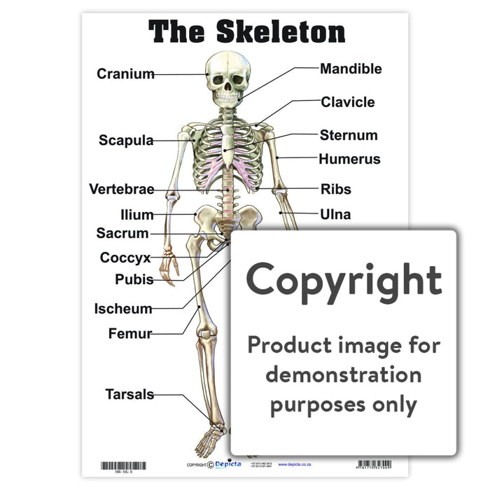 The Skeleton Wall Charts And Posters