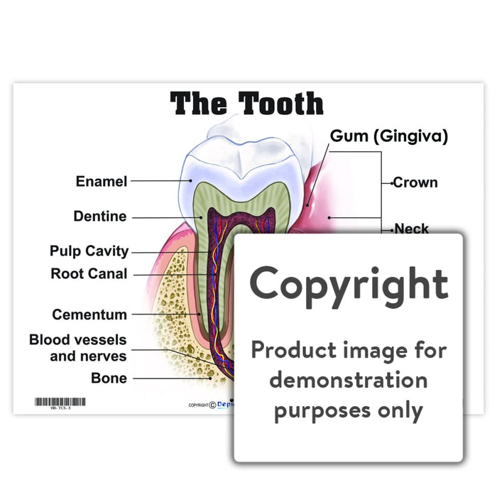 The Tooth Wall Charts And Posters