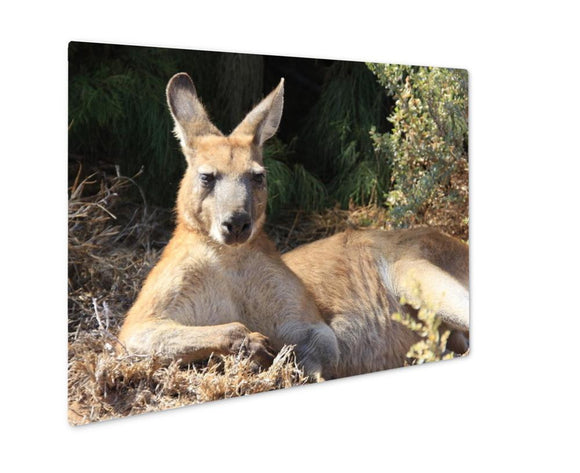 Metal Panel Print, Kangaroo Island Lazy Kangaroo - Metal Panel Print - Payabee Home Goods