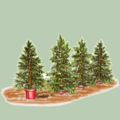 Rent London Christmas Tree Rental Sustainable Pot Grown Tree Return