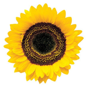 Common Sunflower Magnet