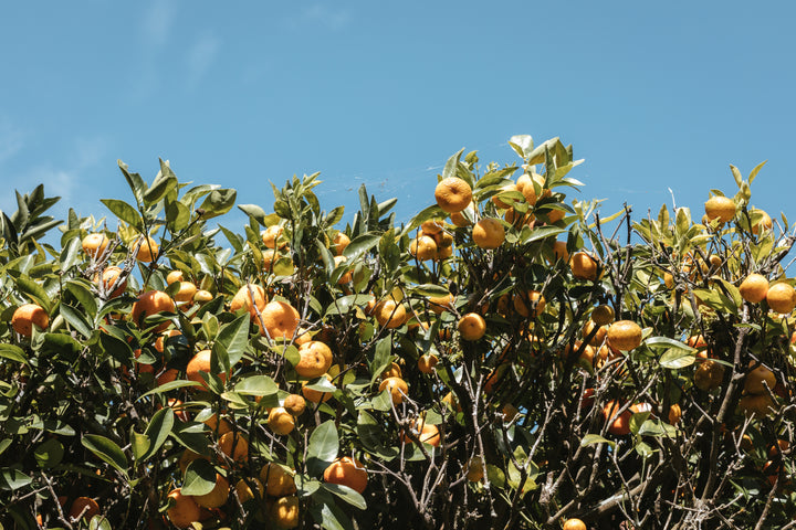 files/florida-orange-orchard-branches-heavy-with-juicy-fruit.jpg