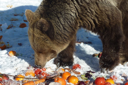 Feed a hungry bear for two weeks