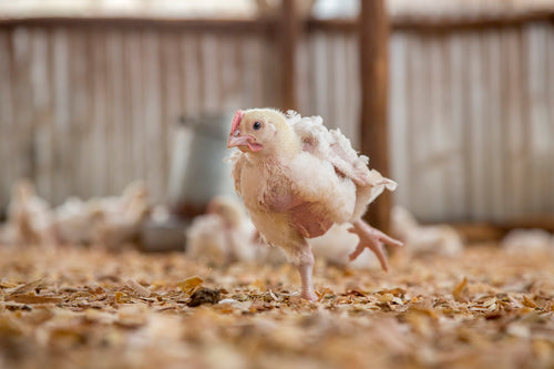 Give chickens a life