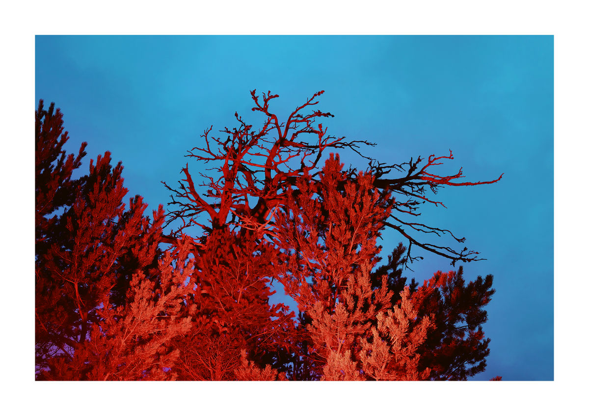 RED FIRS - SCOTLAND
