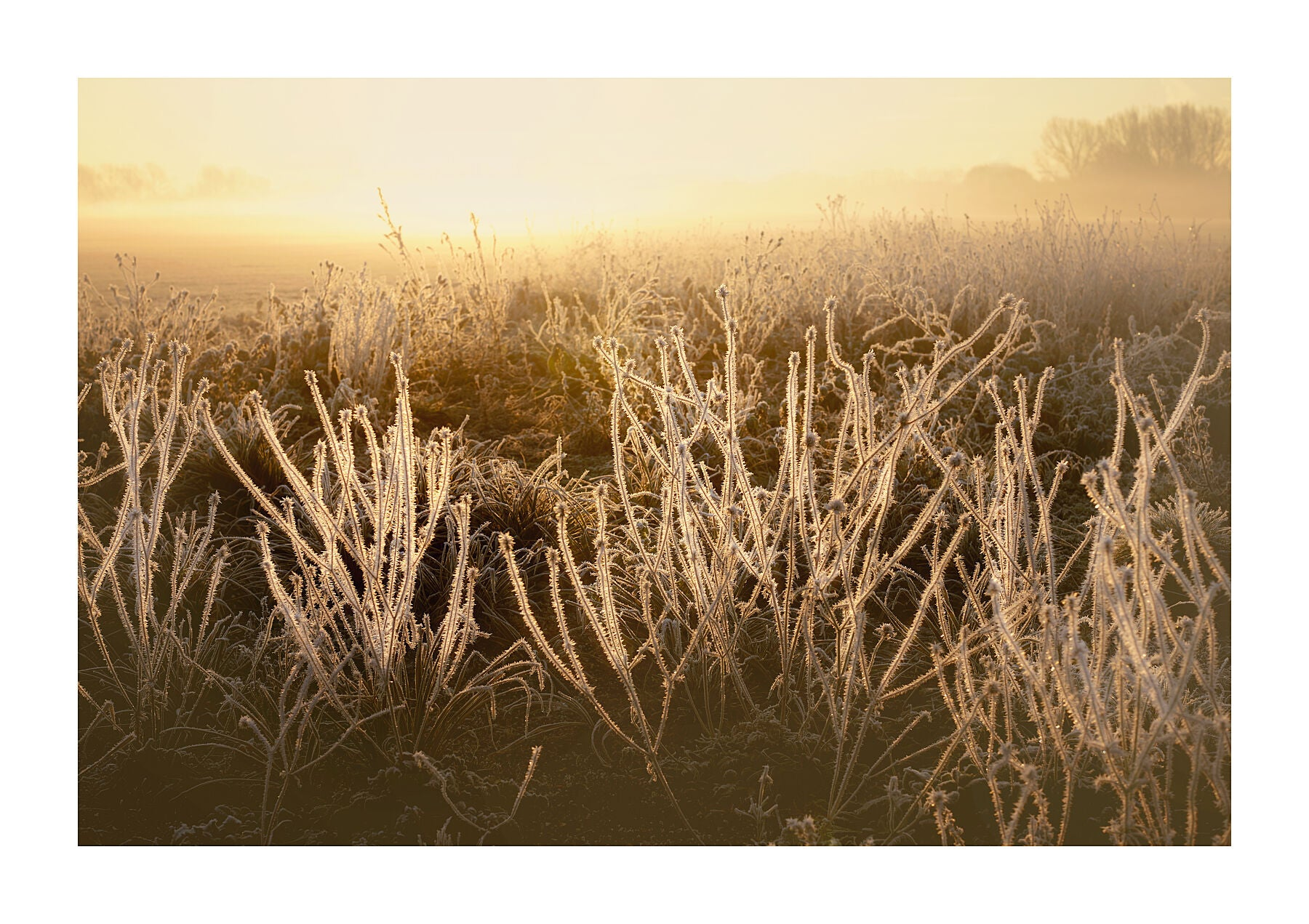 FROSTED GRASSES - LONDON