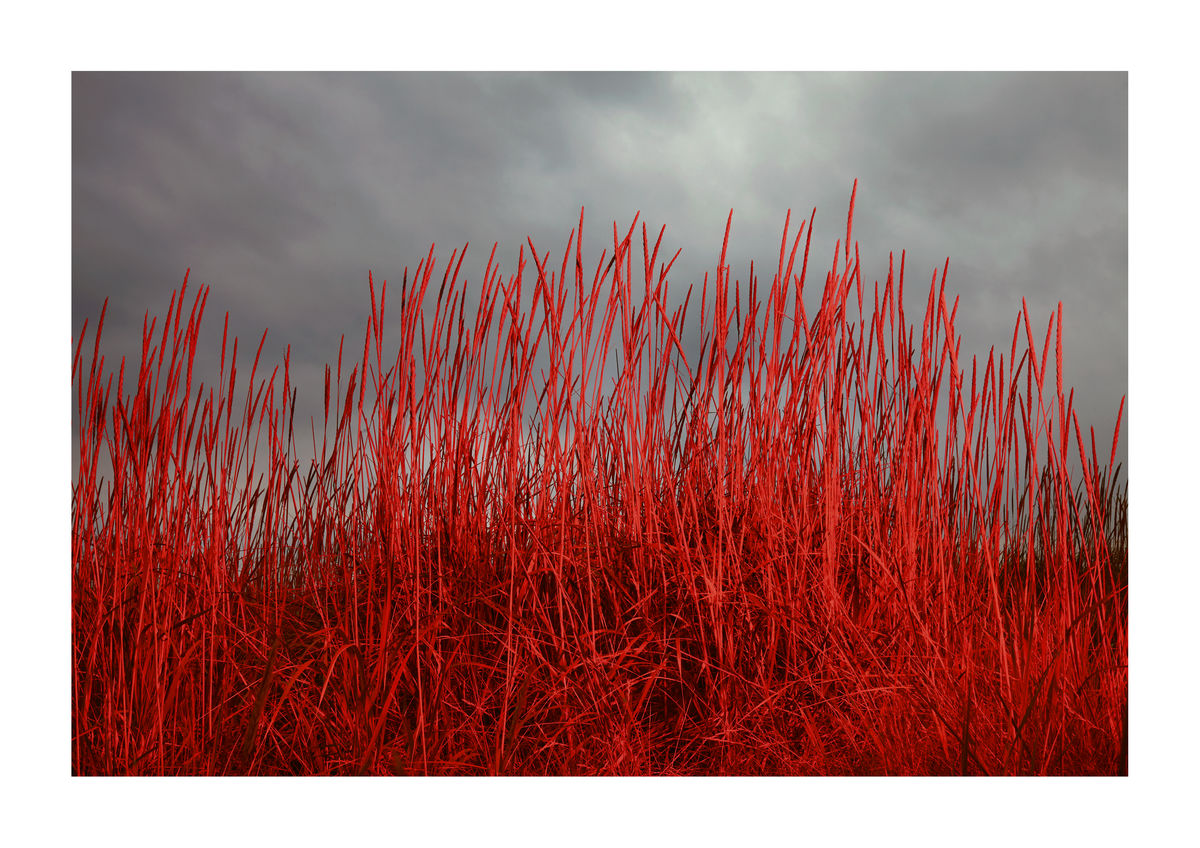 RED GRASSES - SCOTLAND