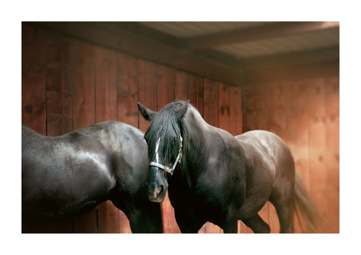 BLACK HORSES - CALIFORNIA