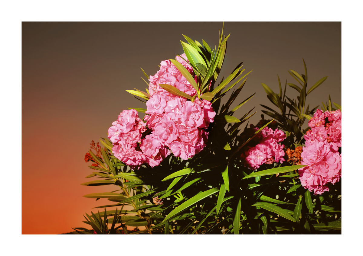 OLEANDER FLOWERS - TURKEY