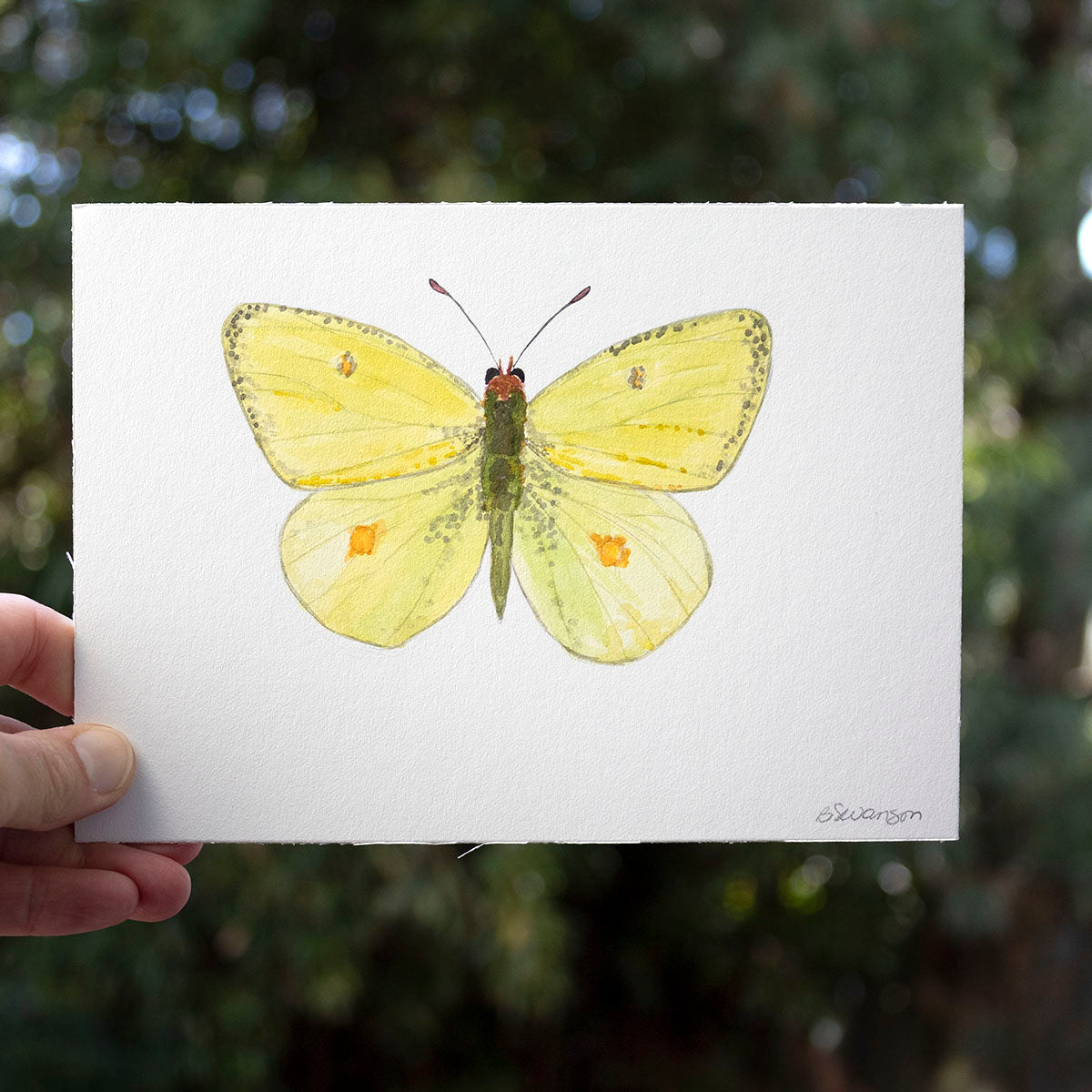 Western Sulphur Butterfly Original Watercolor Painting