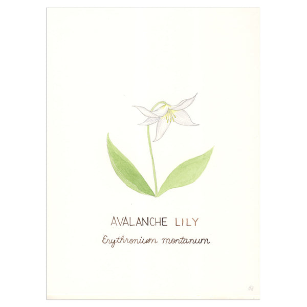 Avalanche Lily Original Watercolor Painting