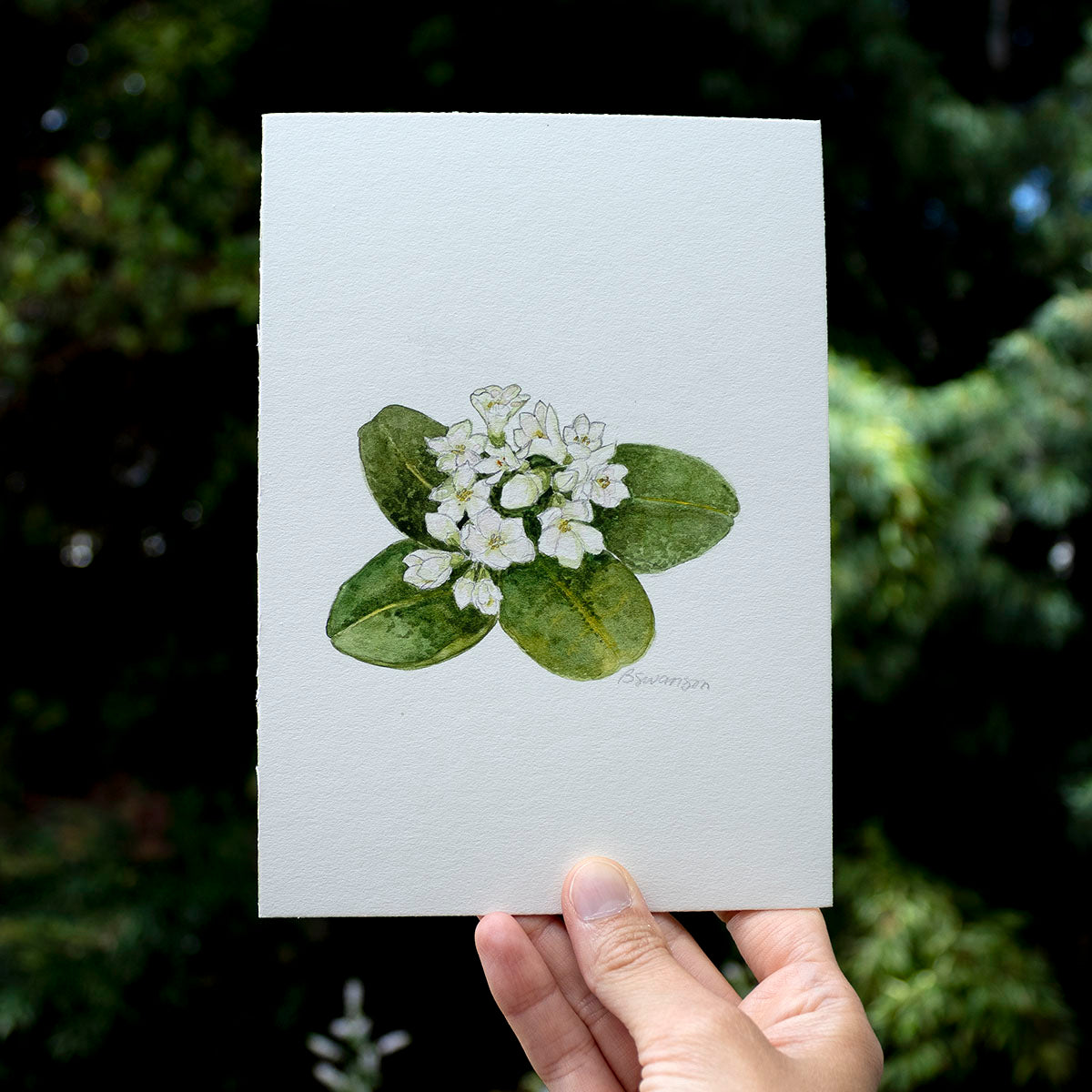Mayflower Wildflower Original Watercolor Painting