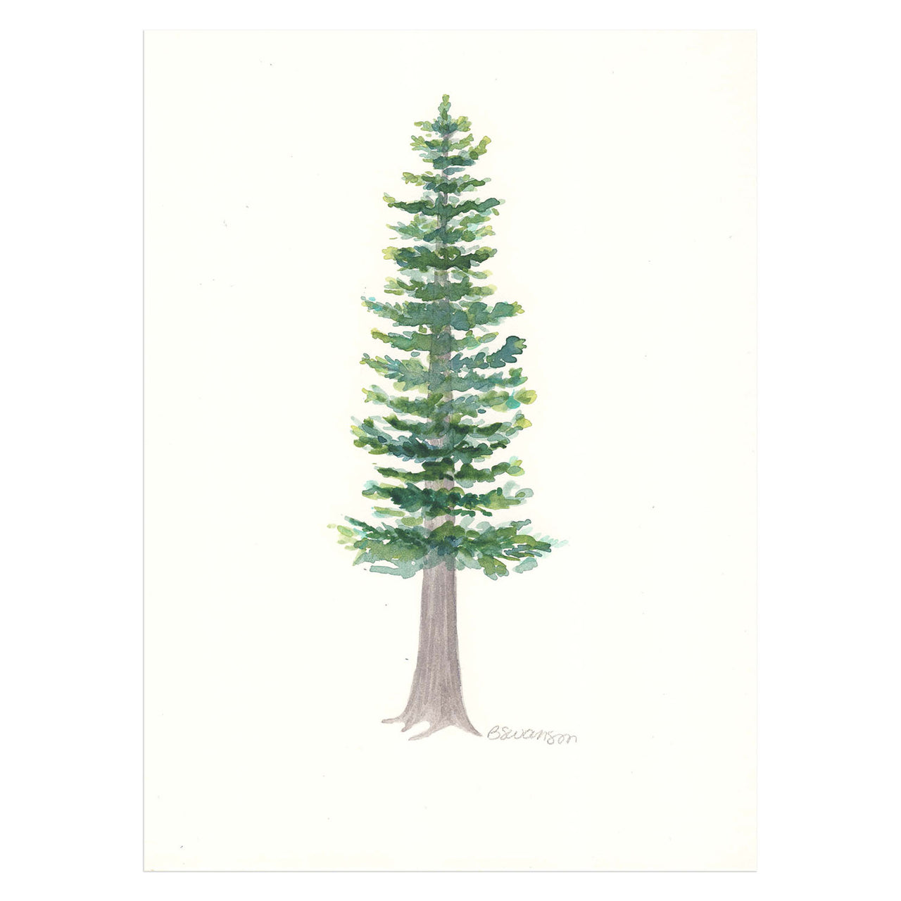 Pacific Silver Fir Original Watercolor Painting