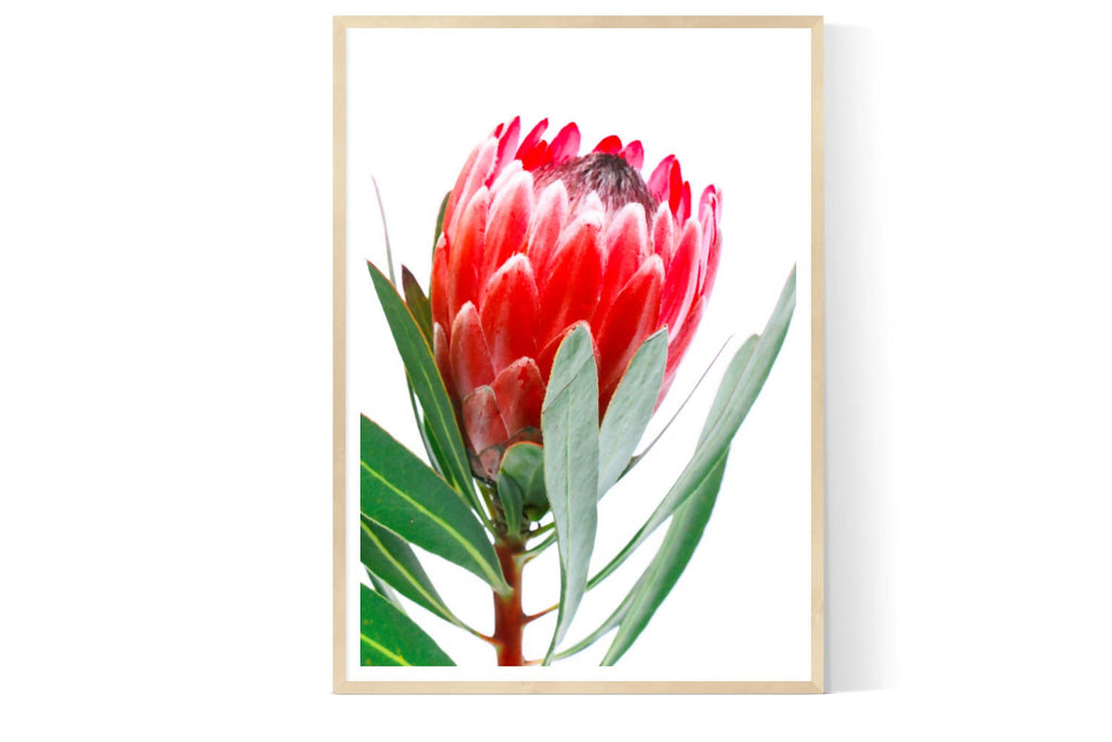 PROTEA RED| Limited Edition Photographic Art